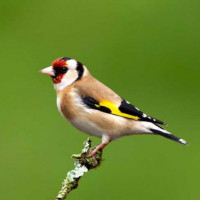 A perfect Goldfinch by Chas Moonie - Goldfinch eat Robin and Tit food from British Bird Food