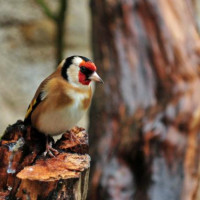 Goldfinch by Robert Hamilton - Goldfinch eat Finch Food