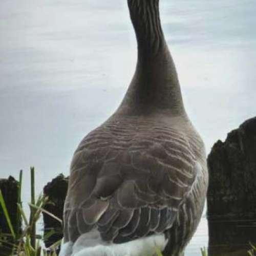 Goose by Julia David
