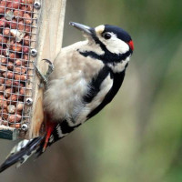 Great Spotted Woodpecker by Margaret Clifford - Peanuts and suet are great foods for woodpeckers