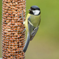 Great Tit - Robin and Tit Mix - A Great Tit snacking on peanuts