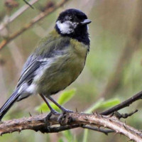 Great Tit - By Barry Baguley - Waiting his turn on the seeds, by Barry Baguley