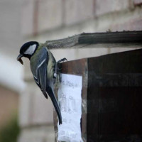 Great Tit nesting in post box - by Allison Pratt - Nest boxes take all shapes and sizes!
