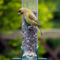 Greenfinch, Finch Food, Niger Seed - A Greenfinch on a feeder. Enjoying Black sunflower seeds