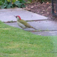 Green Woodpecker by Bill Wilkinson - Green Woodpecker in the garden, by Bill Wilkinson