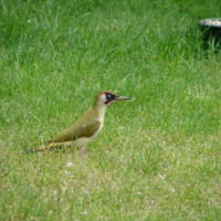 Green Woodpecker by Brenda - Woodpeckers love peanuts for birds at BBF
