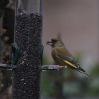 Greenfinch by Graeham Mounteney - Greenfinches love Black Sunflower Seeds - as you can see!