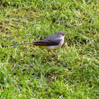 Grey Wagtail - Ground and Table mix, Mealworms - Grey Wagtail by Brian Page