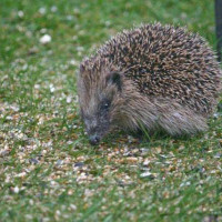 Hedgehog by Paul - Last bite before bed - see you in Spring