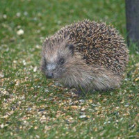 Hedgehog by Paul - Hedgehogs like wild bird food too!