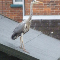 heron by Mike Vallender - Hi a recent visitor to my garden, its just a little large for my bird box.