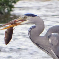 Heron by Annie Chambers - Heron Taken in wimborne on the river Stour. Obviously a good catch.