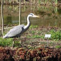 Heron by Brenda - Heron - strolling