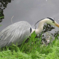 Heron by Peter Jaggs - Heron by Peter Jaggs
