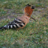 Hoopoe by Mike Gough - A Hoopoe by Mike Gough