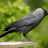 Jackdaw - Garden Bird Seed - Your silver will be safe with me!!
