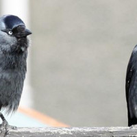 Two Jackdaws by Jim McKinna - After you my dear.......