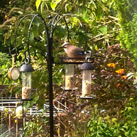 Jay by Jean Stobo - Wild bird food from British Bird Food will attract garden birds to your feeding station