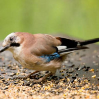 Jay - Peanuts and seed mix - A lovely Jay in the garden larder
