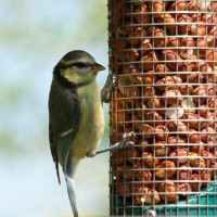 Juvenile Blue Tit - Roy HIll - Blue Tit loves summer mix