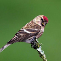 Male Lesser Redpoll by Chas Moonie - Magnificent photograph of a Redpoll by Chas Moonie