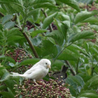 Light coloured Sparrow - A White Sparrow from Philip Standring