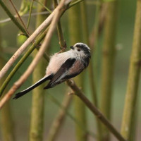 Long Tailed Tit by Rob Gough - Long Tailed Tit. He would love some Robin and Tit food!