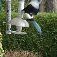 Magpie by Brenda - If only I knew the combination!!