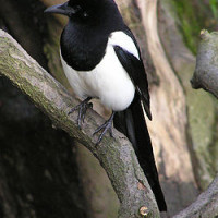 Magpie - Wild Bird Seed - Aren't I beautiful!!