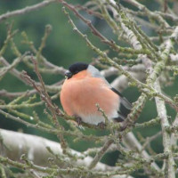 Male Bullfinch by Brenda - Bullfinch love Finch Food from British Bird Food