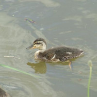 Mallard Duckling by Kath Shaw - Standard wild bird mix is good for feeding the Ducks