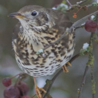 Mistle Thrush by Dave Capps - Mistle Thrush - enjoy British Bird Food's Blackbird and Thrush mix