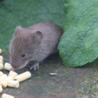 Mouse caught in the act by Margaret Clifford - Suet pellets are good for birds - as well as mice!