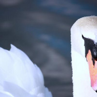 Mute Swan by Jim McKinna - Mute Swan Taken at Irvine beach park