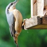 Nuthatch by Nic Tidball - Nuthatch loves British Bird Food Peanuts