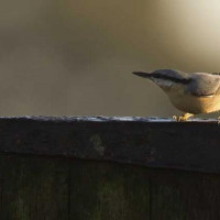 Nuthatch by Jill Barrow - A bully on the feeders, but not too camera shy!