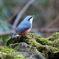 Nuthatch - Peanuts, Suet Pellets - The beautiful nuthatch singing on a rock