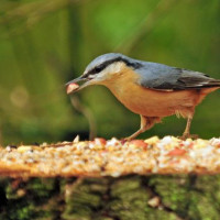 Nuthatch by Robert Hamilton - Nuthatch love Peanuts