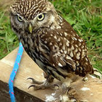 Little Owl - Wild Bird Seed - I might be little, but I'll sort that snake out in a minute