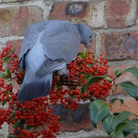 Pigeon on berries by Annie Chambers - Such tasty berries - and all for free. Taken in Wimborne not far from our garden