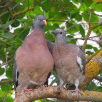 Pigeons by Annie Chambers - Give me a hug mum. Taken in the Lilac tree in our garden. They had a nest in the Pitisporum and would always choose this branch to come out to sit on.