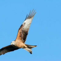Red Kite - Red Kite soaring high