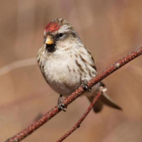 Red Poll - Wild Bird Food - A Redpoll chilling out on a branch