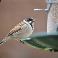 Reed Bunting by Will Hare - Reed Bunting holding onto a seed tray and enjoying no mess