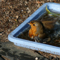 Robin by Karan Green - Robin does like to eat British Bird Food - Robin and Tit mix