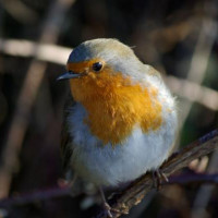 Inquisitive Robin by Julian Taylor - Is that a mealworm I spy!!