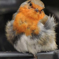 Scruffy Robin by JimHand - Robin and Tit food keeps your birds in great shape!