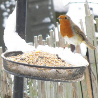 Robin feeding by Jodie - Robin's enjoy Robin and Tit food from British Bird Food.