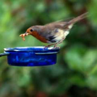 Robin by Roy Hill - Robin and Tit food