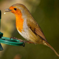 A Robin feeding by Nicola Main - Robins love our Robin and Tit food